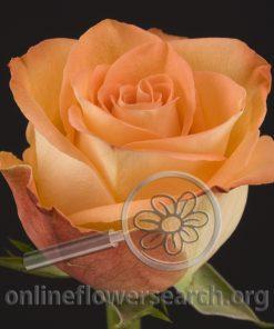 Rose High & Peach Magic