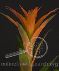 Guzmania Lingulata Orange
