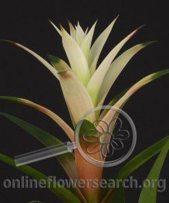 Guzmania Lingulata White
