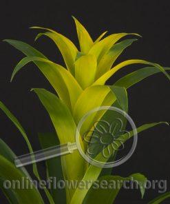Guzmania Lingulata Yellow