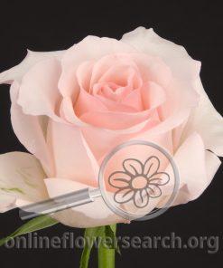 Rose Nena