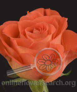 Rose Contrast