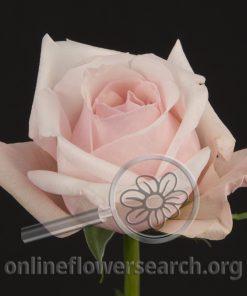 Rose Alicia