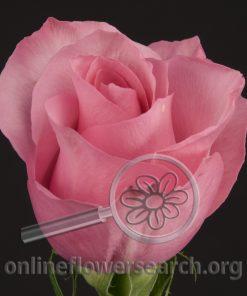 Rose Arusha