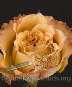 Rose Kalua