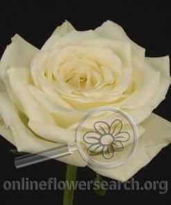 Rose Fragrant Snow