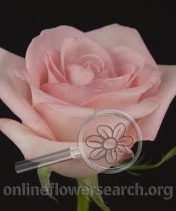 Rose Gitana