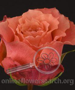 Rose Nature's Cherry (Pacharana)