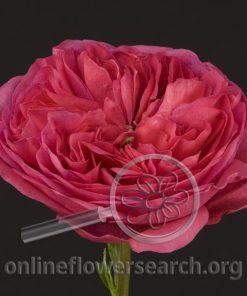Rose Baroness