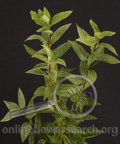 Forsythia (Foliage)