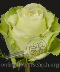 Rose Green Beauty