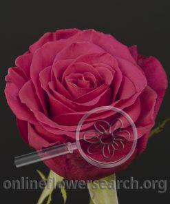 Rose Roseberry
