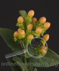 Hypericum Happy Romance