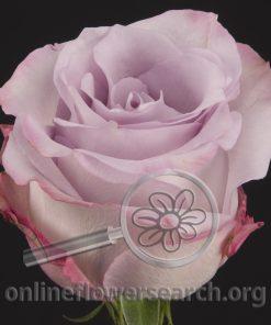 Rose Purple Haze