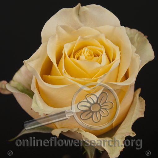 Rose Amaretto