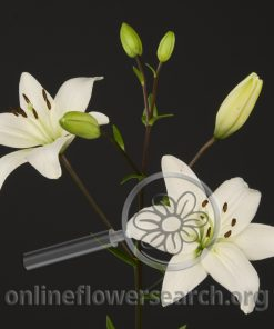 Lily Asiatic Navona