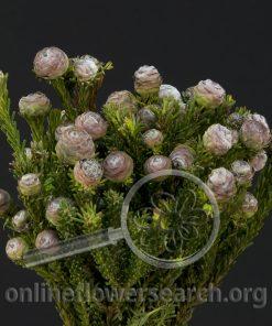 Leucadendron tortum
