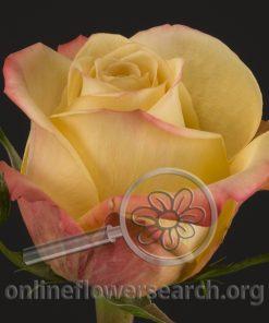 Rose Canela