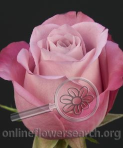 Rose Opus