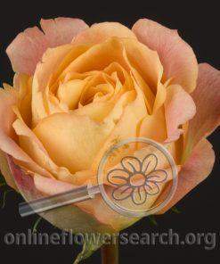 Rose Helios Romantic