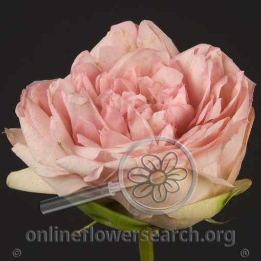 Rose Bridal Piano