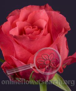 Rose Janeiro