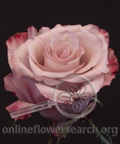 Rose Sweet Berry