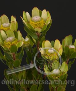 Leucadendron Mini Yellow