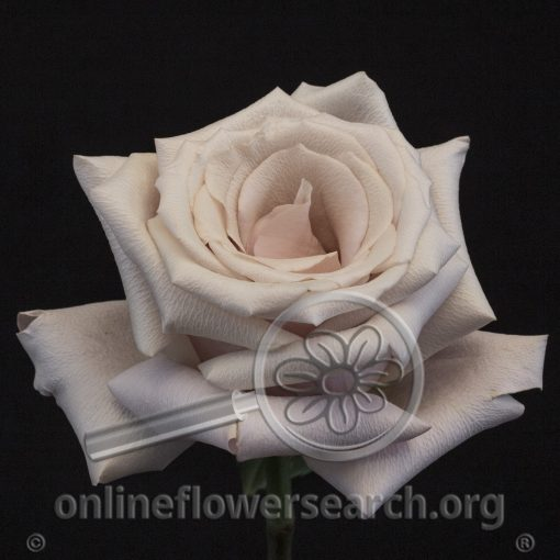 Rose Mother of Pearl