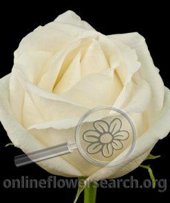 Rose White Chocolate (aka Selene)