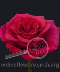 Rose Bonjour