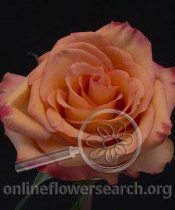 Rose Fidji