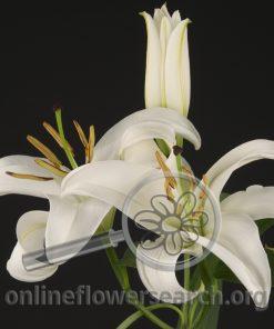 Lily Oriental Santander