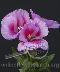 Godetia Lavender Bicolor