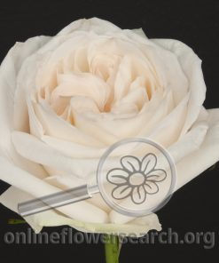 Rose White O'Hara