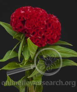 Celosia Cockscomb Red