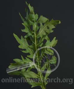 Compass Plant Foliage