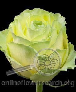 Rose Wimbledon