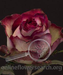 Rose Absurda