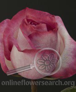 Rose Broadway