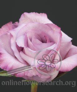 Rose Lilac Fragrant