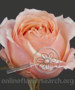 Rose Campanella Pink