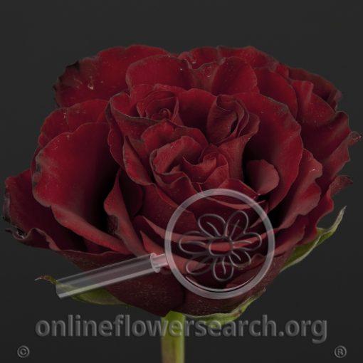 Rose Campanella Red