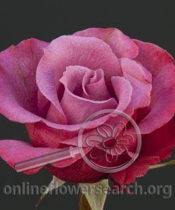 Rose Furano