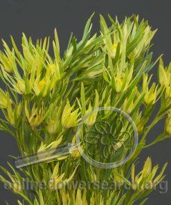 Leucadendron Eucalitifolium