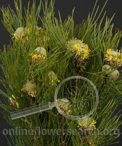 Leucadendron Isopogon Yellow