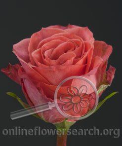 Rose Coral Prophyta