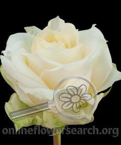 Rose Renate