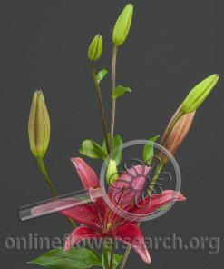 Lily Asiatic America