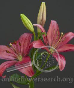 Lily LA Hybrid Sulpice